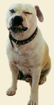 Pam Whyte trains pit bulls, boerboels, spaniels, huskies, daschunds, Jack Russels, staffies, English bull terriers, and all other breeds of dogs, curing barking, digging, chewing, fighting, hyperactivness, and all behaviour problems.